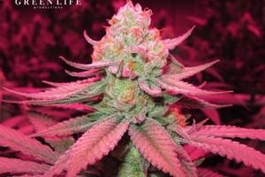 9 Pound Hammer Marijuana Strain product image