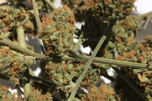 Agent Orange Marijuana Strain product image