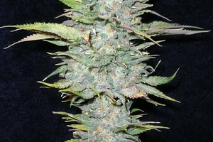 Blue Dynamite Marijuana Strain product image