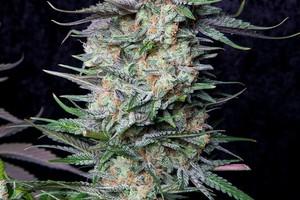 Cheese Quake Marijuana Strain product image