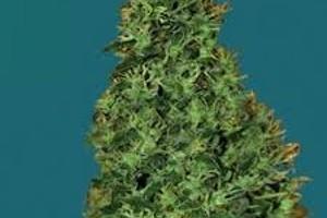 Cheesy Dick Marijuana Strain product image
