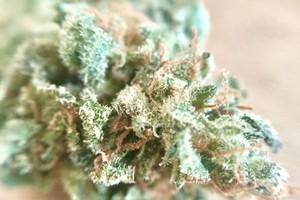 Critical Kush Marijuana Strain product image
