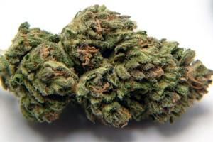 Hash Plant Marijuana Strain product image