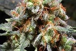 Jager Marijuana Strain product image
