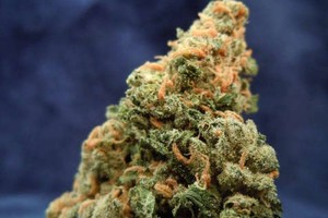 OG Cheese Marijuana Strain product image