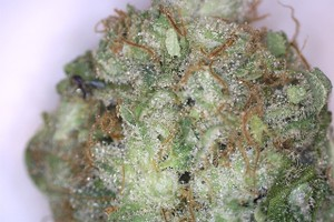 Critical Cheese Marijuana Strain product image