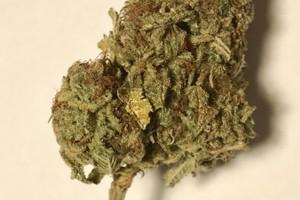 Purple Kush Marijuana Strain product image