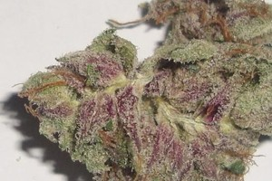 Purple Afghani Marijuana Strain product image