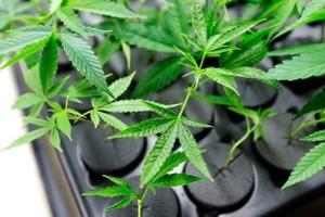 Sea of Green Farms marijuana producer