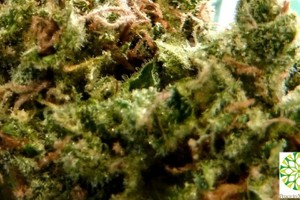 '91 Chemdawg Marijuana Strain featured image