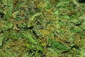 Game Changer Marijuana Strain featured image