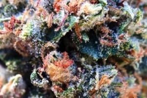 Ghost OG Marijuana Strain featured image