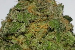Grape Ape Marijuana Strain featured image