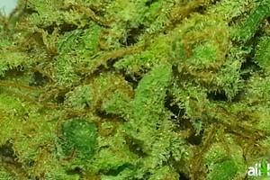 Grapefruit Kush Marijuana Strain featured image