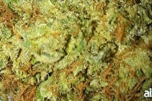 Master Kush Marijuana Strain featured image