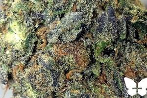 Platinum Girl Scout Cookies Marijuana Strain featured image