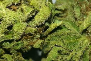 Sensi Star Marijuana Strain featured image