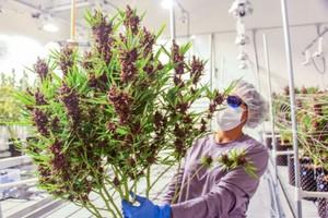 Theory Wellness Marijuana Dispensary image