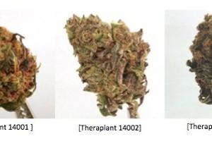 Theraplant Marijuana