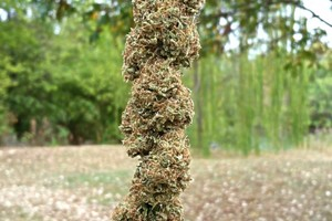 Afgoo Marijuana Strain image