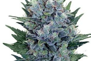 BF Blue Cheese Marijuana Strain image