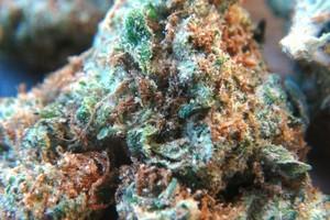 Bruce Banner #3 Marijuana Strain image