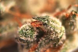 Casey Jones Marijuana Strain image