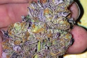 CBD Mango Haze Marijuana Strain image