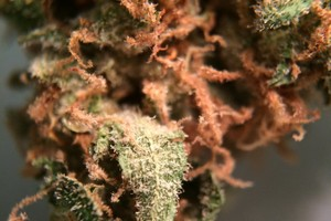 Critical Kush Marijuana Strain image