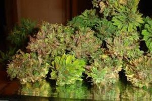 El Nino Marijuana Strain image