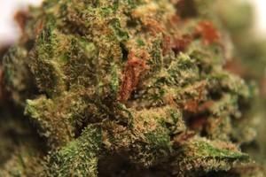 Girl Scout Cookies Marijuana Strain image