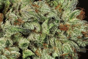 Gorilla Glue #5 Marijuana Strain image