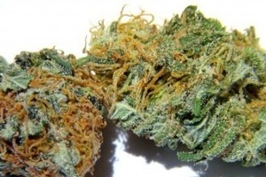 Hash Plant Marijuana Strain image