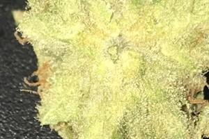 Hippie Crippler Marijuana Strain image