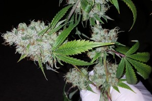 Holy Grail OG Marijuana Strain image