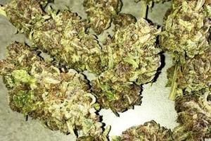 Hulkamania Marijuana Strain image
