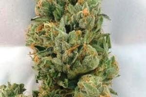 I-95 Marijuana Strain image