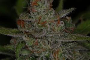 Jack Skellington Marijuana Strain image