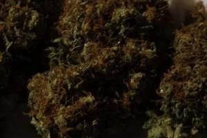 Kilimanjaro Marijuana Strain image
