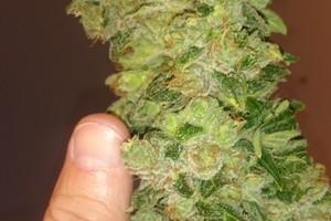 LSD Marijuana Strain image