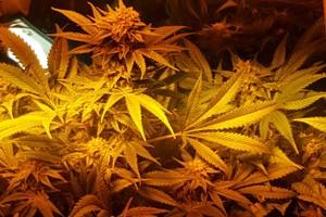 Nebula Marijuana Strain image