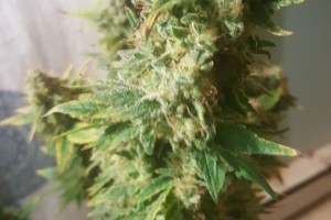 Northern Lights Marijuana Strain image