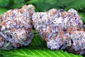 Purple Obamba Marijuana Strain image