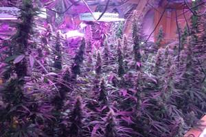 Purple Paralysis Marijuana Strain image