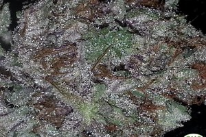 Skywalker Marijuana Strain image