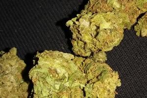 Sour Cheese Marijuana Strain image
