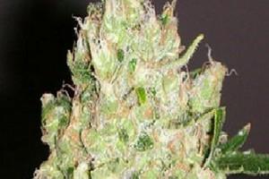 Violator Kush Marijuana Strain image