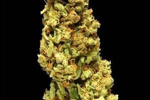 Watermelon Kush Marijuana Strain image