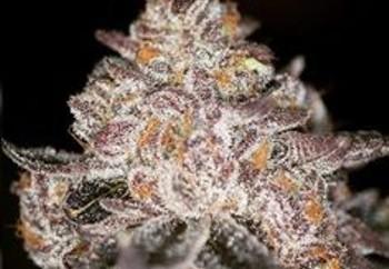 Cookies And Cream X Purple Punch   Marijuana Strain Reviews
