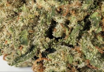 Godfather OG Kush | Marijuana Strain Reviews | AllBud